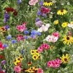 mooie bloemen zelf gezaaid