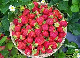 verse aardbeien uit eigen tuin