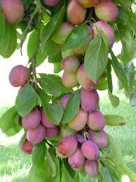 pruimenboom