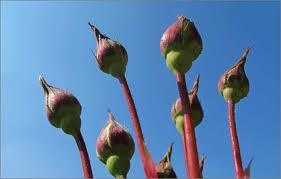 rozenknoppen 1