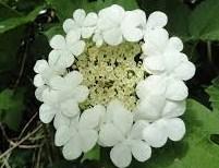 Gelderse roos bloem