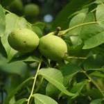 walnoten nog aan de boom