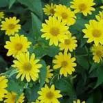bloem aardpeer