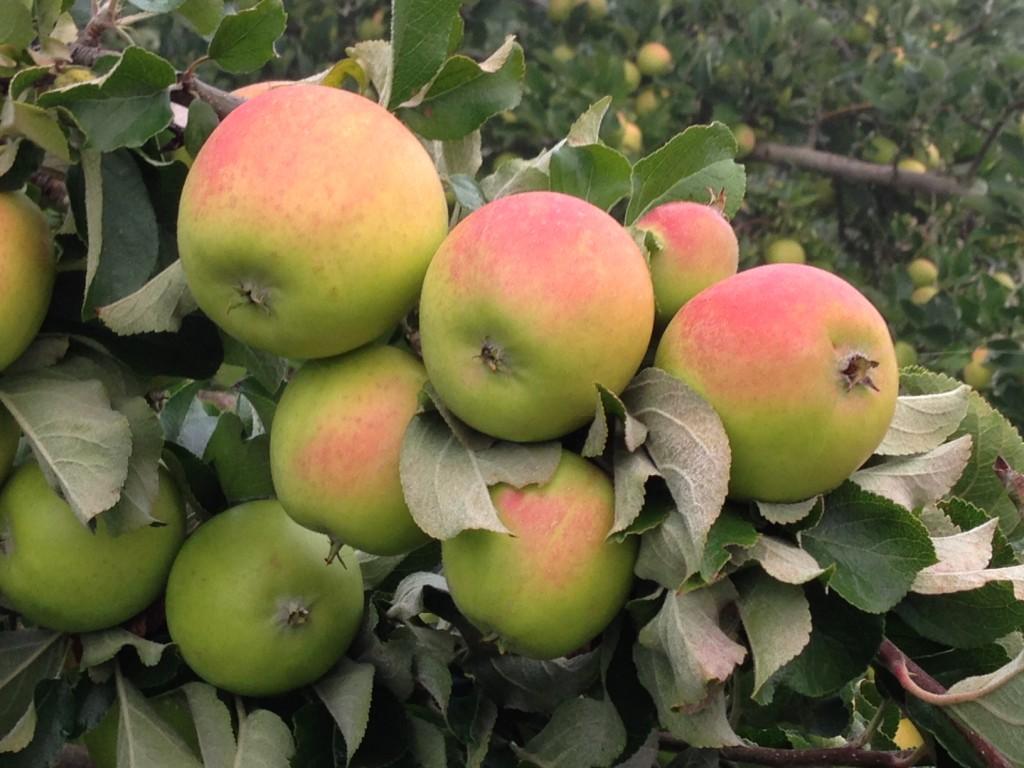 Dora heirloom appels