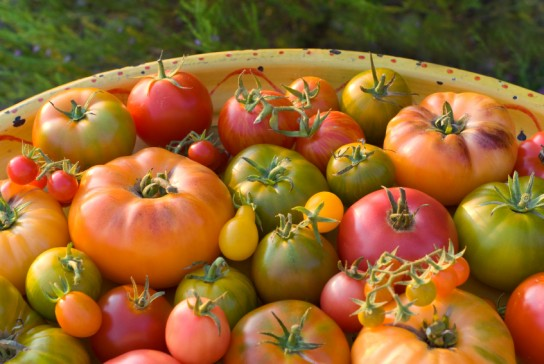 Dora heirloom tomaten
