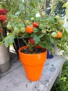 tomaat in pot 2