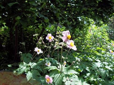 Dora anemonen