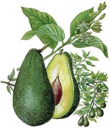 tekening avocado