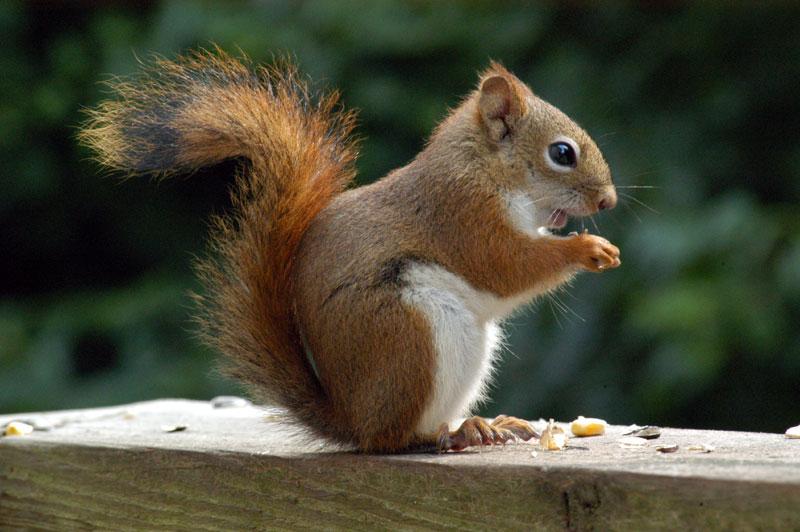 dora-eekhoorn-met-nootjes