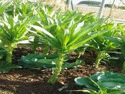 stengelsla-planten